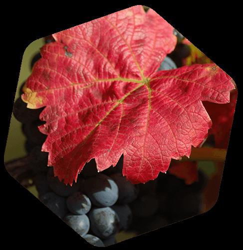 Feuille de vigne rouge (Vitis vinifera var. tinctoria)